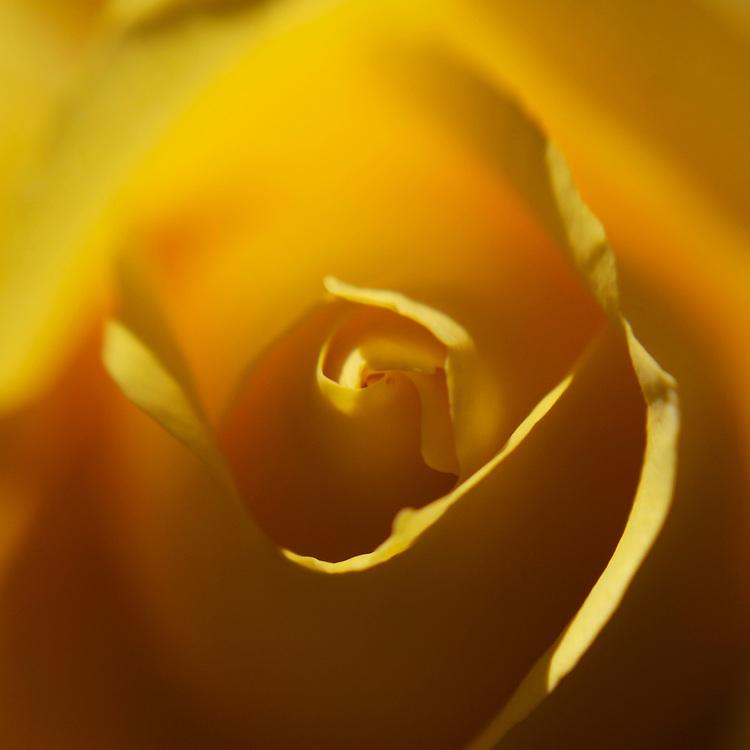lensbaby rose