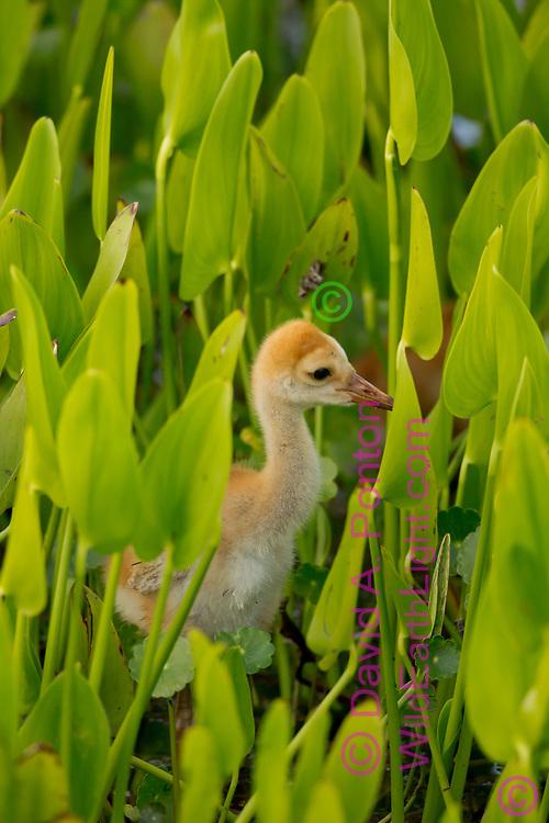 Sandhill crane chick among leaves of duck potato in wetland, © David A. Ponton