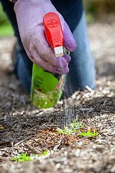 Spraying bindweed with weedkiller
