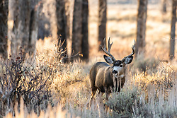 Jackson Hole Mule Deer buck is a cottonwood forest illuminated by the evening sun.