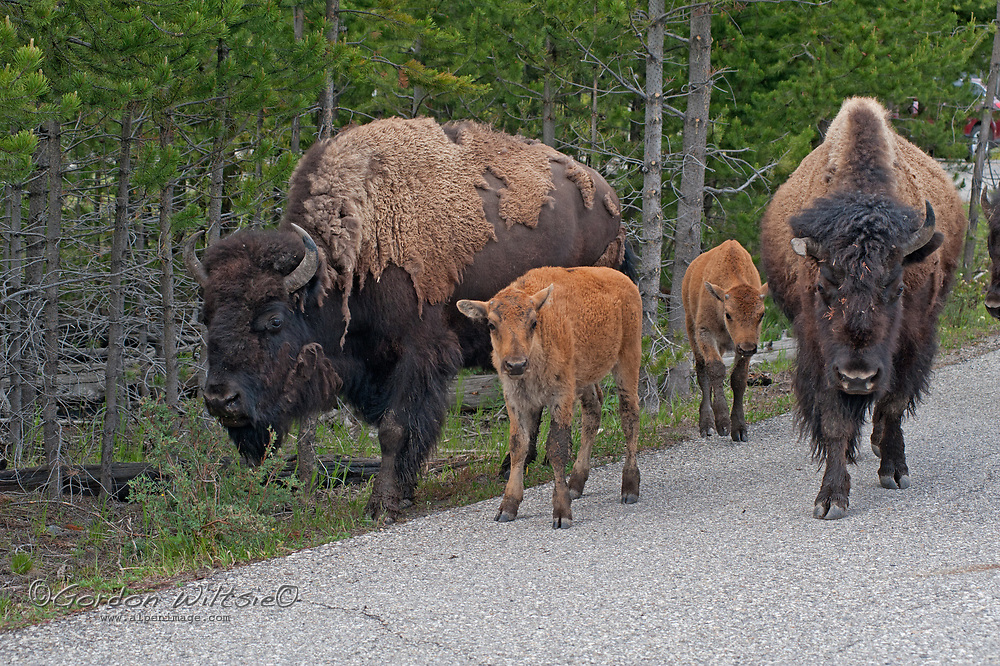 American Bison (Bison bison) cows & their calves walk along a road in Yellowstone National Park, Wyoming.