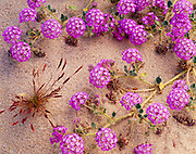 Spring bloom of sand verbena, Abronia villosa, on sand dunes south of Dale Lake and southwest of the Sheep Hole Mountains, California.
