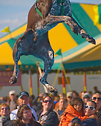 25th ANNUAL LI OYSERFEST. Dog jumping contest, Ti see which dog could jump further into a pool of water.