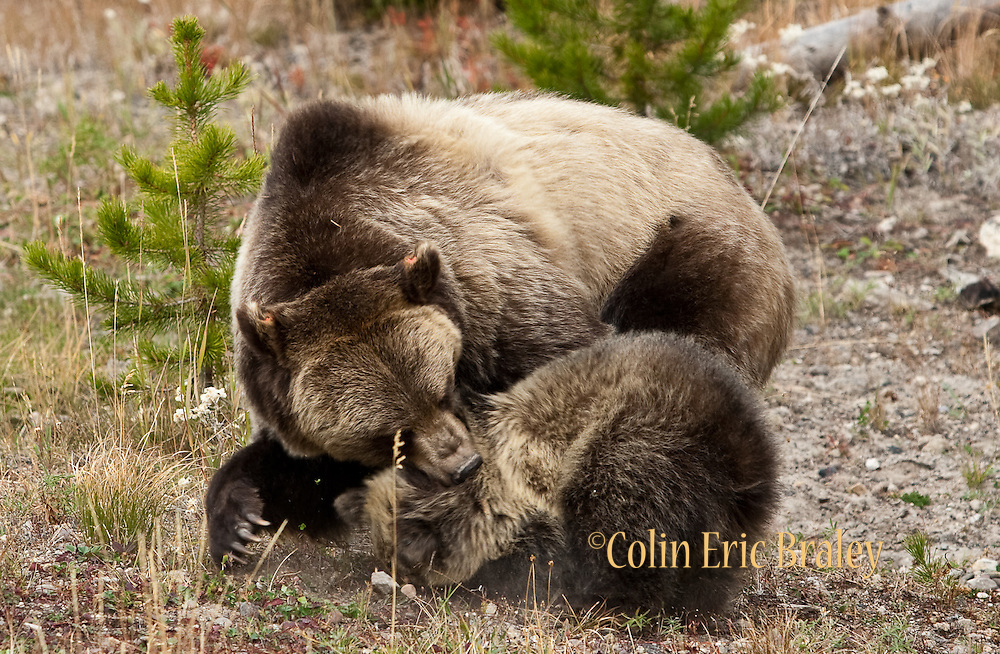 A Grizzly Bear (ursus horibilis) disciplines one of  her two cubs as they forage for food along a tree line during a cold autumn day in Yellowstone National Park.  Colin E Braley (Wild West-Media)