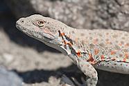 Leopard Lizard, Gambelia wislizenii