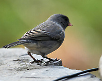 Dark-eyed Junco (Junco hyemalis). Image taken with a Nikon D850 camera and 600 mm f/4 VR lens