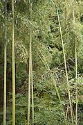 lush bamboo vegetation Japan