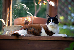 Lewis the cat wanders the back yard of his home in Oakland, Calif., Wednesday, June 17, 2020. (Photo by D. Ross Cameron)
