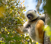 The critically endangered diademed sifaka (Propithecus diadema) feeding in the canopy of Anamazaotra Nature Reserve, Madagascar.