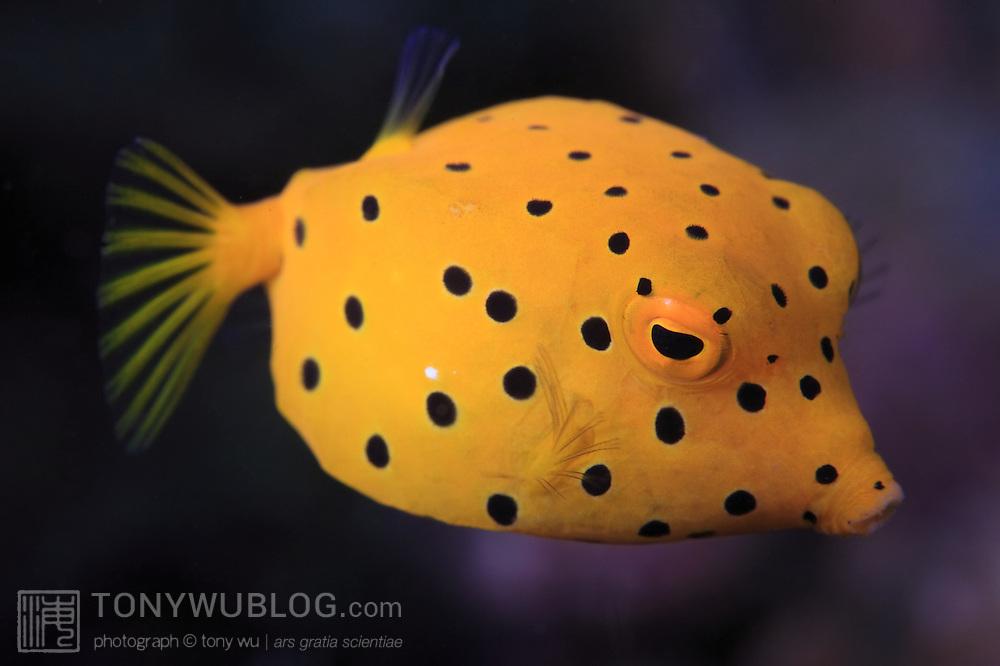 Cute juvenile yellow boxfish (Ostracion cubicus) in Ambon, Indonesia
