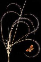European Feather grass, Stipa pennata (= S. joannis), with Heath Fritillary butterfly, Mellicta athalia.<br /> Stenje region Lake Macro Prespa, 1300m elevation. <br /> Galicica National Park, Macedonia, June 2009<br /> Mission: Macedonia, Lake Macro Prespa /  Lake Ohrid, Transnational Park<br /> David Maitland / Wild Wonders of Europe