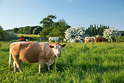 Cows grazing in a lush meadow in late Spring / early Summer in fields near Burford in the Oxfordshire Cotswolds, UK