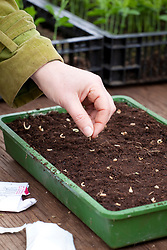 Sowing Calendula 'Indian Prince' into a tray