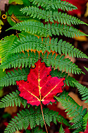 Red Sugar Maple leaf on Cinnamon Fern at Pictured Rocks National Lakeshore, Michigan, USA