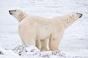 Polar bear  (Ursus maritimus) on frozen tundra along the Hudson Bay Coast<br />Churchill<br />Manitoba<br />Canada