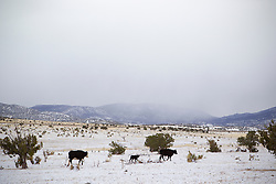 family of cows walking through a snow covered landscape in New Mexico