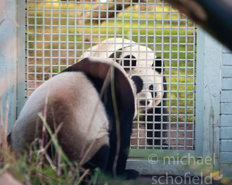 Yang Guang (left), the male panda, looks through the fence of his enclosure at towards Tian Tian as they make their first appearance in front of the media since arriving from China on December 12, 2011,  Edinburgh Zoo..Pic © Michael Schofield.