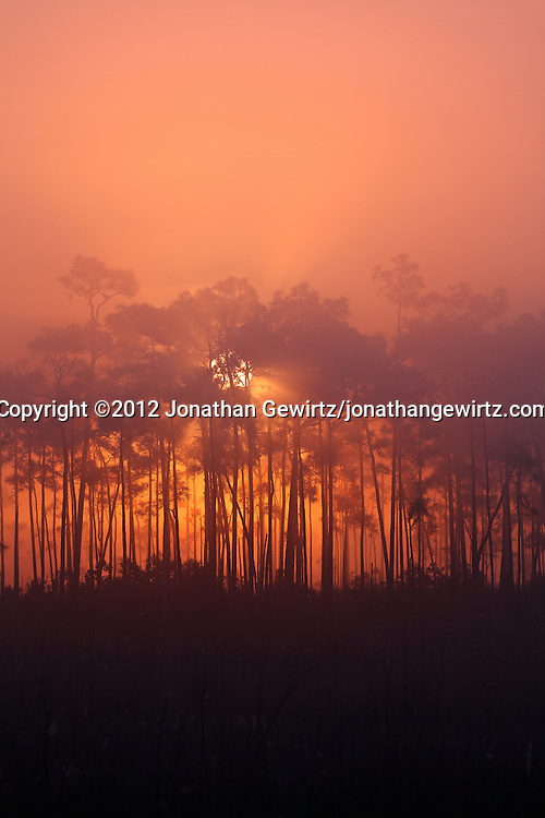 The sun rises behind a pine hammock on a foggy morning in Everglades National Park, Florida. WATERMARKS WILL NOT APPEAR ON PRINTS OR LICENSED IMAGES.