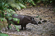 Brazilian Tapir (Tapirus terrestris) in saltlick<br /> Yasuni National Park, Amazon Rainforest<br /> ECUADOR. South America<br /> HABITAT & RANGE: Near water in the Amazon Rainforest and River Basin in South America, east of the Andes. Range stretches from Venezuela, Colombia, and Guianas in the north to Brazil, Argentina, and Paraguay, in the south, to Bolivia, Peru, and Ecuador in the West.<br /> IUCN CONSERVATION STATUS: Vulnerable