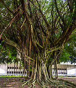 A large banyan tree lays down many roots in Hilo's Wailoa River State Recreation Area, behind the Hawaii State Human Services Department building on the Big Island. Address: 75 Aupuni St, Hilo, HI 96720, USA. This image was stitched from multiple overlapping images.