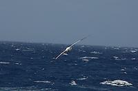 Southern Royal Albatross (Diomedea epomorphora)