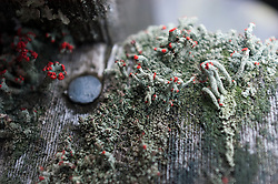 Lichen grows on a northern Minnesota boat dock