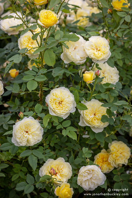 Rosa 'The Country Parson' syn. 'Ausclergy'