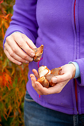 Handful of tulip bulbs ready to plant out in autumn