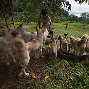 Small boy feeding the family dogs at Barangay Tagibinet, Puerto Princesa, Palawan, The Philippines.<br /> I stayed with this very friendly family while I was photographing Ugong Rock, a karst limestone pinnacle with cave passages leading to the summit. The city of Puerto Princesa has developed it as a new ecotourism destination. There is now a zipline connected to Ugong Rock.