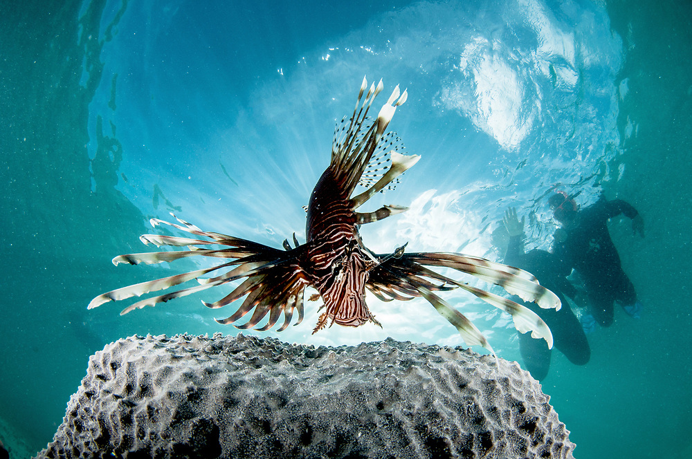 An invasive Lionfish (Pterois volitans) and tourist snorkelers in The Bahamas.