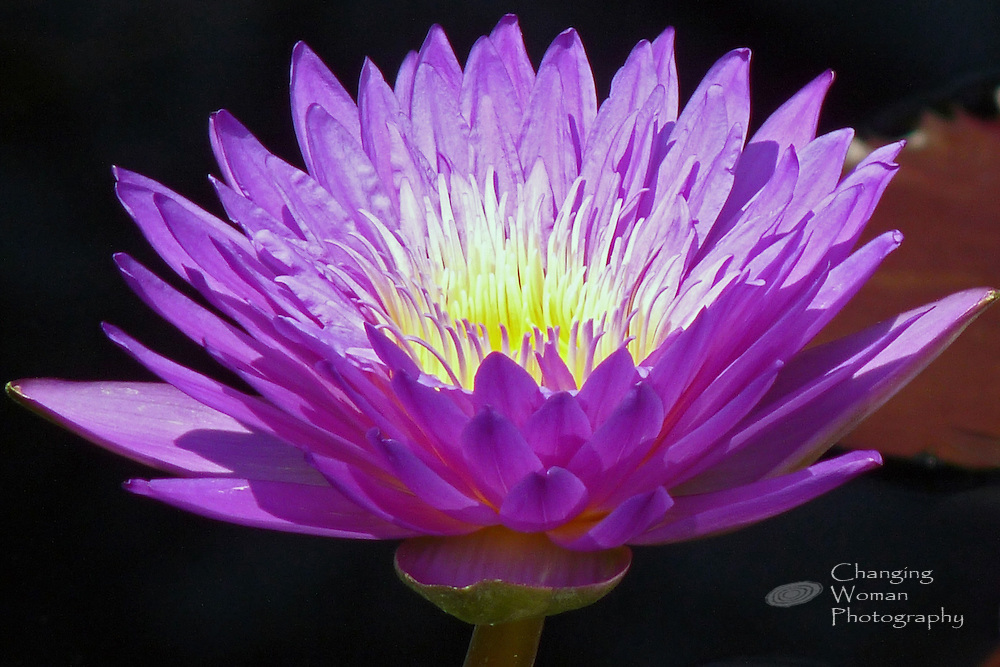 """Day-blooming waterlily rises above a purple leaf and features purple petals and lavender-tipped yellow anthers characteristic of the """"Ultra Violet"""" cultivar found at Longwood Gardens, July 2010."""