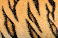 """Tiger (Sumatran Tiger)(Panthera tigris), close-up coat, the tiger is one of the big cats and is native to Asia. He is the greatest of all big cats. The basic color of the tiger fur ranges from pale yellow to orange to a dark ocher. The characteristic of the basic color dependents on habitat and subspecies (for example Siberian tiger's coat is brighter than coat of conspecifics in warmer areas). Parts of the face, neck, leg inside, chest and belly fur is white to cream-colored. Also the length and thickness of fur differs in dependence on subspecies and habitat. (the colder the thicker and longer the coat). The most stricking feature is the striped coat pattern. The stripes having different shades of brown to black. The different subspecies also differ in color and number of stripes. It is very difficult to tell the subspecies by their coat patterns from each other, because coat color and stripe pattern also vary within a subspecies. The coat pattern is for camouflage. Frankfurt am Main, Hesse, Germany.This picture is part of the series """"Creature's Coiffure""""..Tiger (Sumatra-Tiger) (Panthera tigris), Fellausschnitt eines Tigers. Der Tiger gehoert zu den Grosskatzen und ist in Asien beheimatet. Er ist die groesste aller Raubkatzen. Die Grundfarbe des Tigerfells reicht von strohgelb ueber orange bis zu einem dunklen Ockerfarbton. Die Auspraegung der Grundfarbe ist dabei abhaengig von Lebensraum und Unterart. (z.B. faellt die Fellfaerbung des Sibirischen Tigers heller aus als die seiner in waermeren Gefilden lebenden Artgenossen.) An Teilen von Gesicht, Hals, Beininnenseiten, Brust und Bauch ist das Fell weiss bis cremefarben. Auch die Laenge und Dichte des Fells unterscheidet sich in Abhaengigkeit von Unterart und Lebensraum. (Je kaelter es wird, desto dichter und laenger muss das Fell sein.) Doch das auffaelligste Tigermerkmal ist die gestreifte Fellzeichnung. Dabei nehmen die Streifen unterschiedlichste Brauntoene bis hin zu Schwarz an. Die jeweiligen Unterarten unter"""