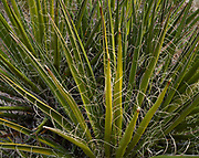 Mojave Yucca, Yucca schidigera, Newberry Mountains, Mohave Desert, Lake Mead National Recreation Area, Nevada.