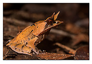 Bornean Horned Frog from Kubah National Park, Sarawak, Borneo. Nikon D5, 105mm micronikkor, f11, 1/400sec, ISO500, 3 x SB2000 macroflash, Manual modus
