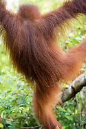 Central Kalimantan, Indonesia - March 6, 2017: Close-up of an orangutan's orange hair in morning sunlight at Tanjung Harapan, a ranger station located inside Tanjung Puting National Park on the island of Borneo in Central Kalimantan, Indonesia