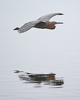 Reddish Egret (Egretta rufescens). Black Point Wildlife Drive. Merritt Island National Wildlife Refuge. Image taken with a Nikon D3s camera and 200-400 mm f/4 VR lens.
