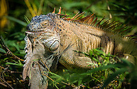 Green Iguana taken in the wild in Costa Rica jungle.
