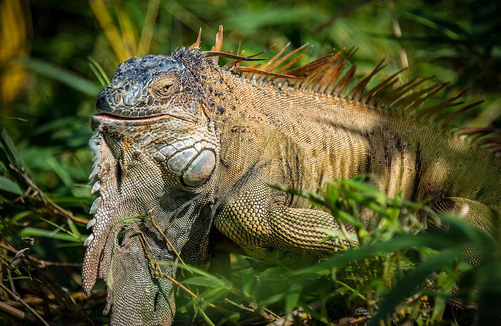 Green Iguana taken in the wild in Costa Rica jungle.