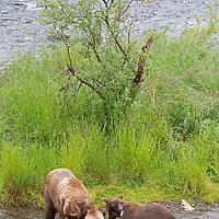 USA, Alaska, Katmai. Brown Bear Sow and Cubs at Brooks Falls, Alaska.