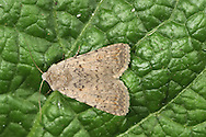 Pale Mottled Willow - Paradrina clavipalpis