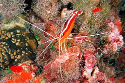 scarlet cleaner shrimp, .Lysmata amboinensis, .Kona, Big Island, Hawaii (Pacific)