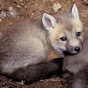 Red Fox, (Vulpus fulva) Young kit in den. Spring. Captive Animal.