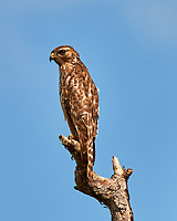 Red-shouldered Hawk perched on a dead tree just north of the Wilson's Corner intersection. Merritt Island National Wildlife Refuge. Image taken with a Nikon D3x camera and 600mm f/4 VR lens (ISO 100, 600 mm, f/10, 1/400 sec).