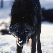 Gray wolf (Canis lupus) subordinate female who has just left a deer carcass behind in the timber. Captive Animal