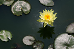 Water Lily, yellow, #15