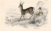 Roe Deer (Capreolus capreolus), Eurasian species of deer. From 'British Quadrupeds', W MacGillivray, (Edinburgh, 1828), one of the volumes in William Jardine's Naturalist's Library series. Hand-coloured engraving.