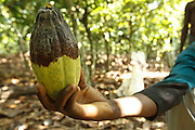Severin Kouadio Kouakou holds a diseased cocoa pod on his friend Daniel's cocoa plantation near the town of Moussadougou, Bas-Sassandra region, Cote d'Ivoire on Monday March 5, 2012.