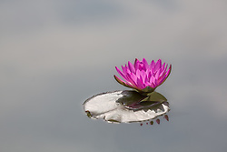 Water Lily, magenta #17