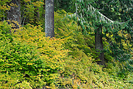 Vine Maple (Acer circinatum) in autumn, Mount Rainier National Forest, WA, USA