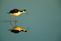 A black necked stilt (Himantopus mexicanus) and its reflection in water.
